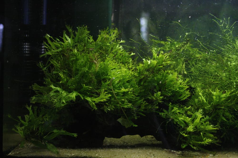 Windeløv java fern