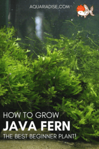 How to grow Java fern in your aquarium!
