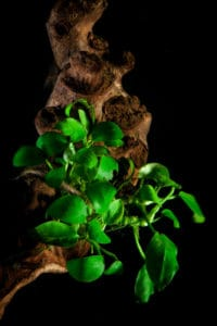 How to grow Anubias in your aquarium #aquatic #plants