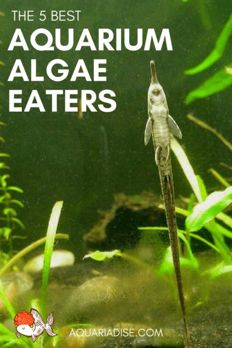 The 5 best algae eaters for the aquarium!