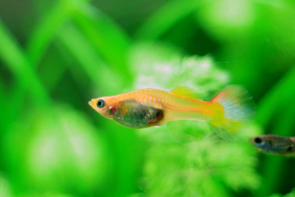 Caresheet guppy poecilia reticulata aquariadise for How long is a guppy fish pregnant