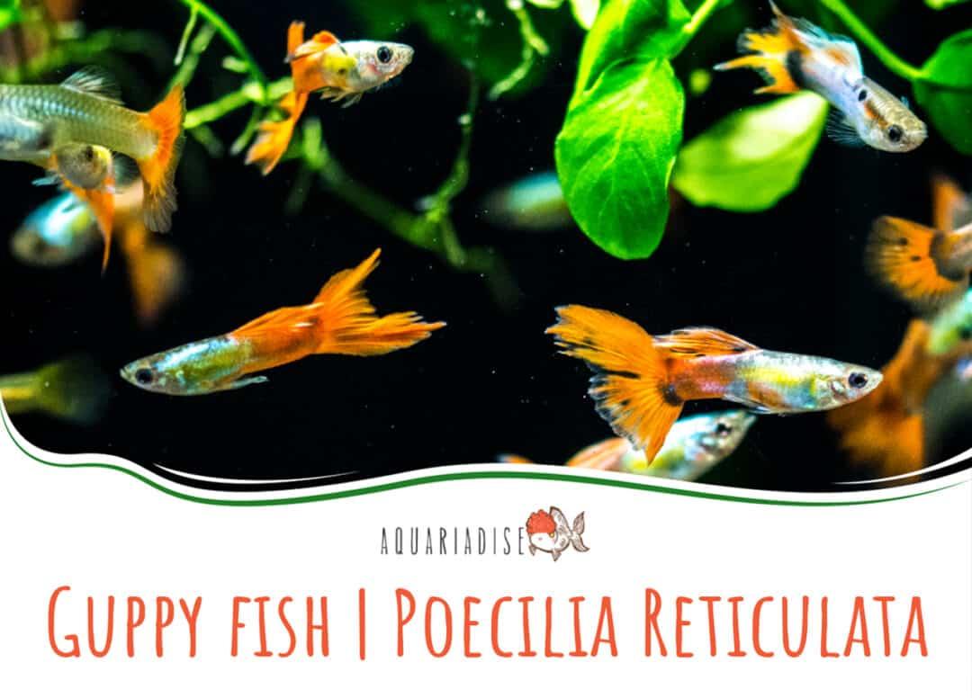 Guppy fish Poecilia Reticulata