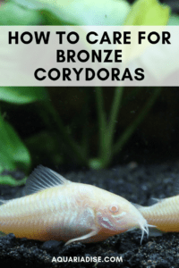 How to care for bronze Corydoras catfish #aquariums #pets