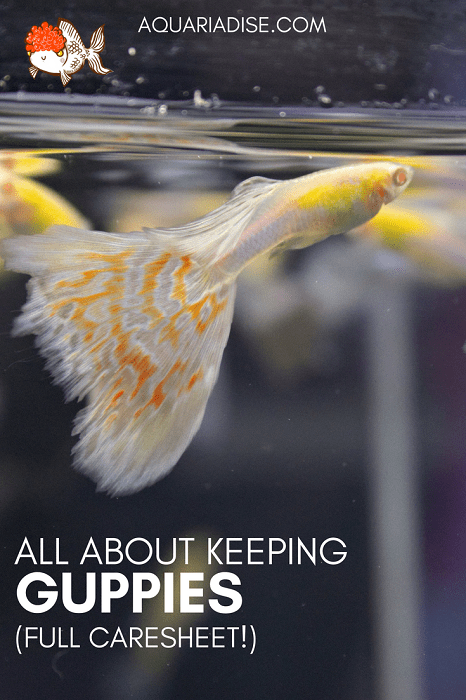 Guppy 101 | All you need to know about keeping guppies