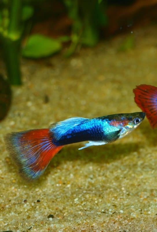 Wondering how to care for guppy fish? Everything you need to know can be found in the guppy caresheet #fish #aquariums