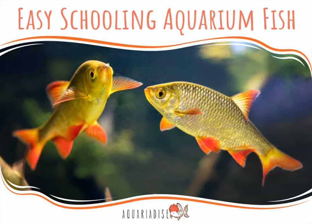 Easy Schooling Aquarium Fish