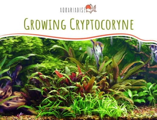 Growing Cryptocoryne