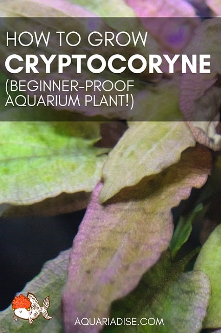 Growing Cryptocoryne | Beginner favorite aquarium plant!