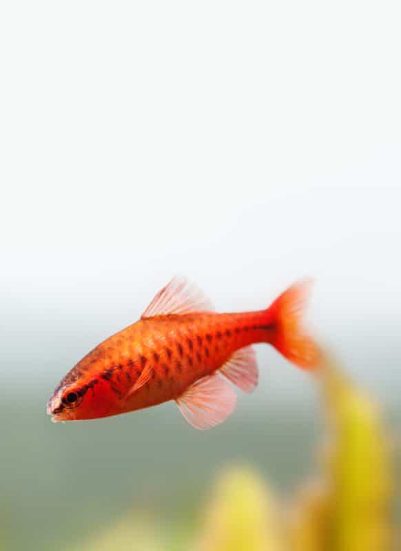 7 easy schooling fish for your aquarium #pets #aquariums
