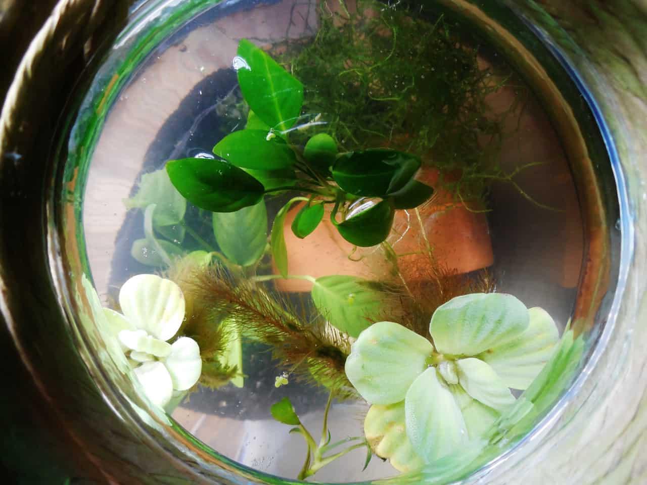 Setting Up A Planted Fish Bowl Aquariadise