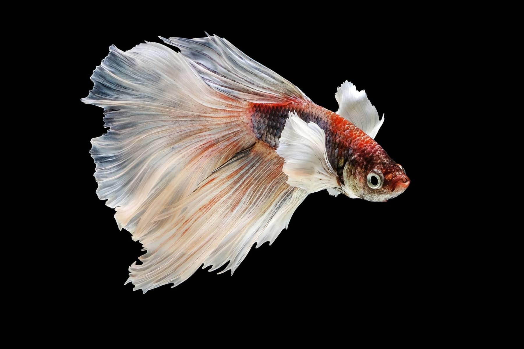 Dumbo Betta Fish