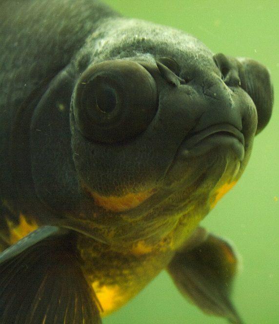 coldwater aquarium fish