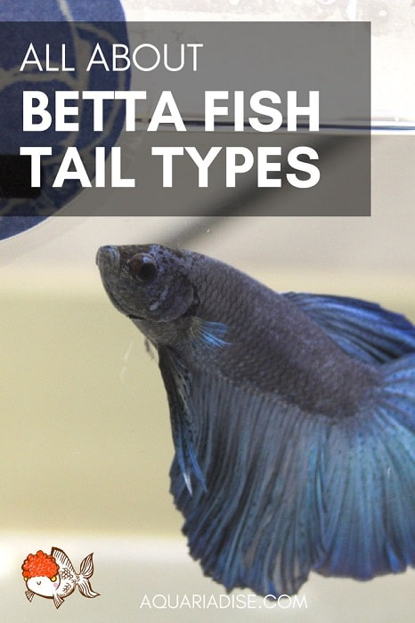 From plakats to veiltails: all about Betta fish tail types!