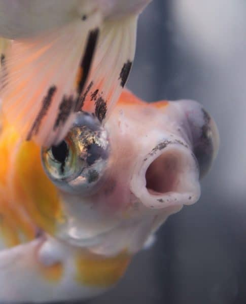 Can you keep fancy #goldfish in a 5 gallon aquarium? NO! They grow much too large.
