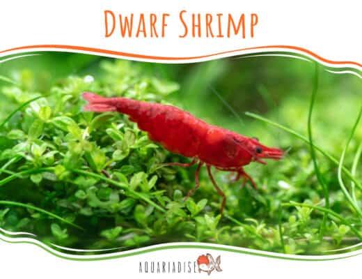 Dwarf Shrimp