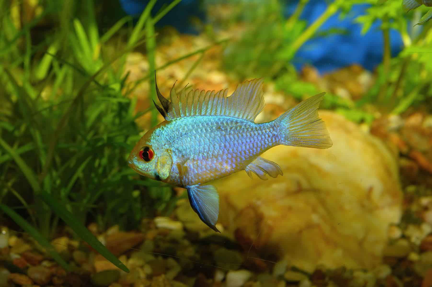 German Blue Ram