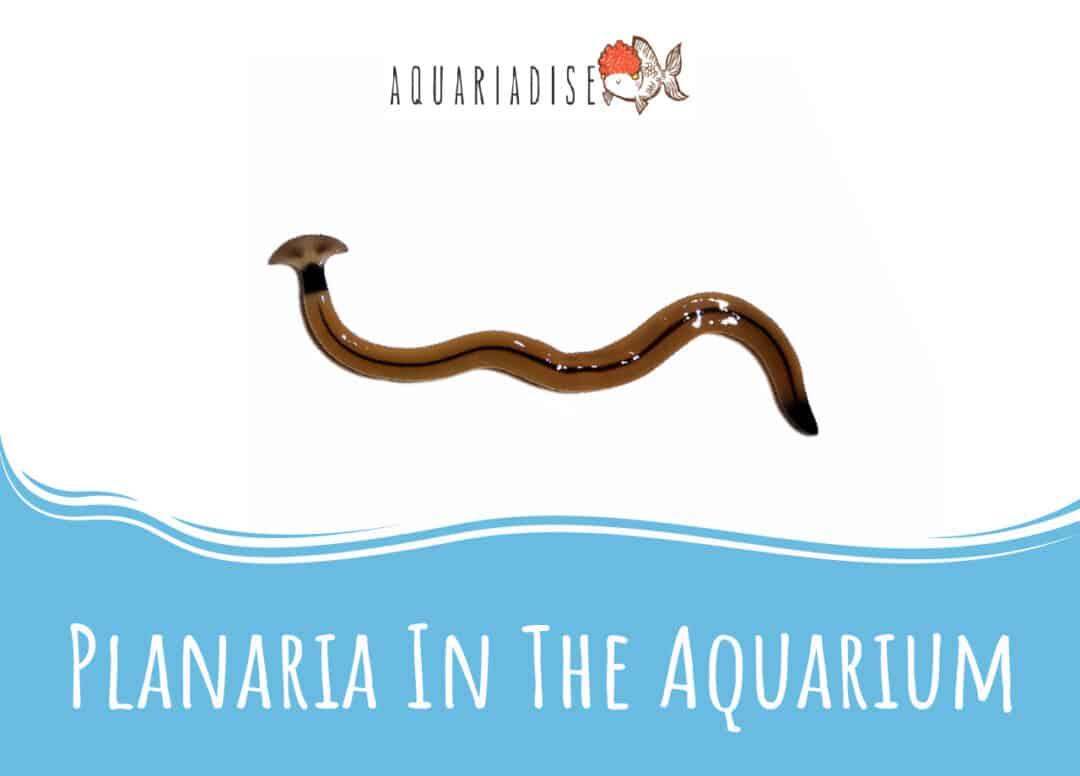 Planaria In The Aquarium
