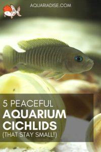 Peaceful aquarium cichlids | 5 community-proof species