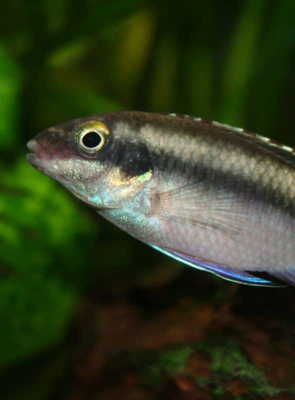 5 community-proof dwarf & Apistogramma cichlids you'll love to keep! #fish #aquariums
