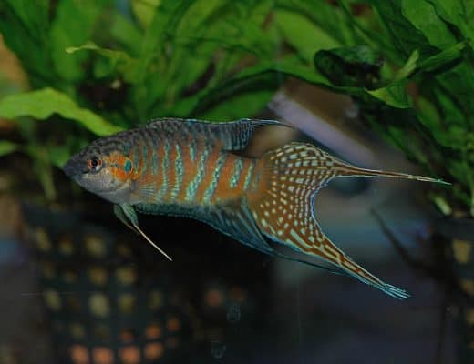 easy coldwater aquarium fish