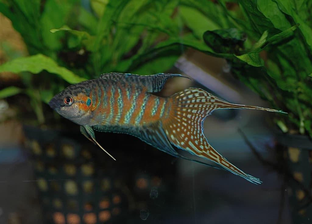 easy coldwater aquarium fish