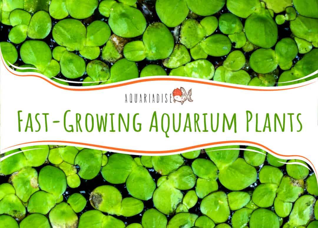 Fast-Growing Aquarium Plants