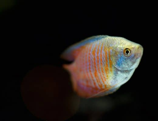 types of gourami