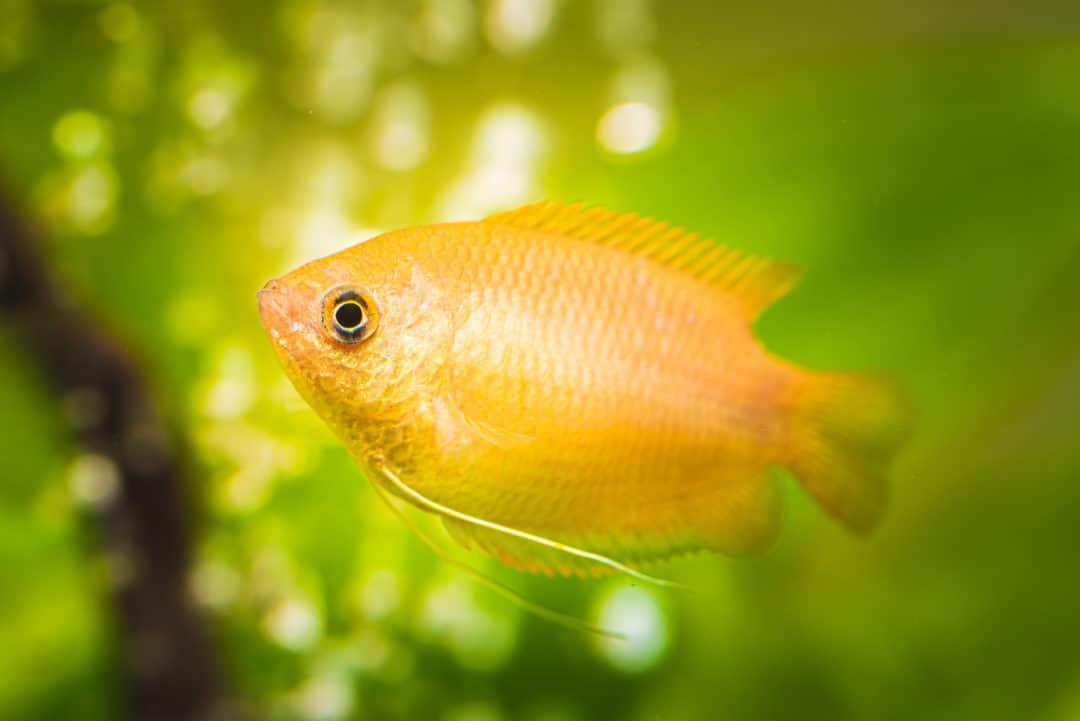 Gourami 101   Gourami fish types & info!