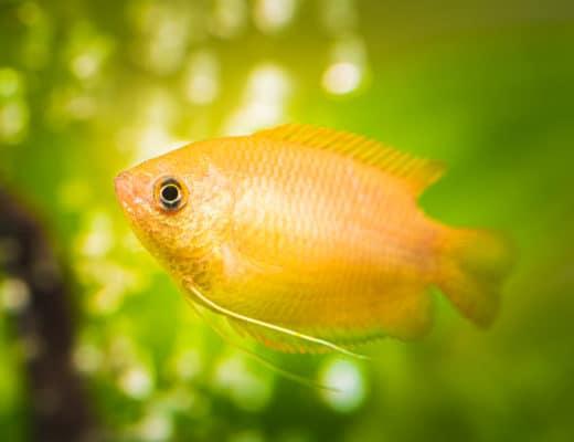 Gourami 101 | Gourami fish types & info!