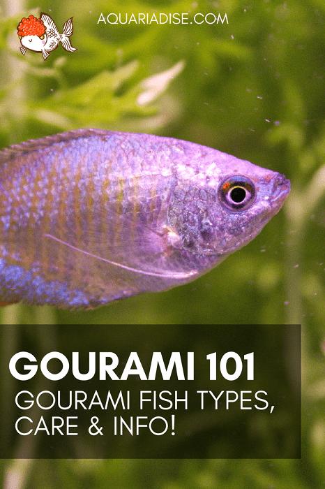 Gourami 101   Gourami fish types & info