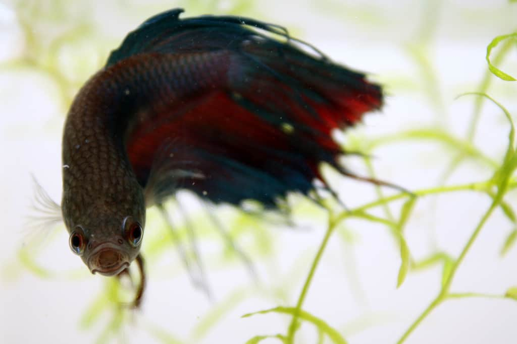 Feeding caring for your fish while on vacation aquariadise for Betta fish vacation feeder