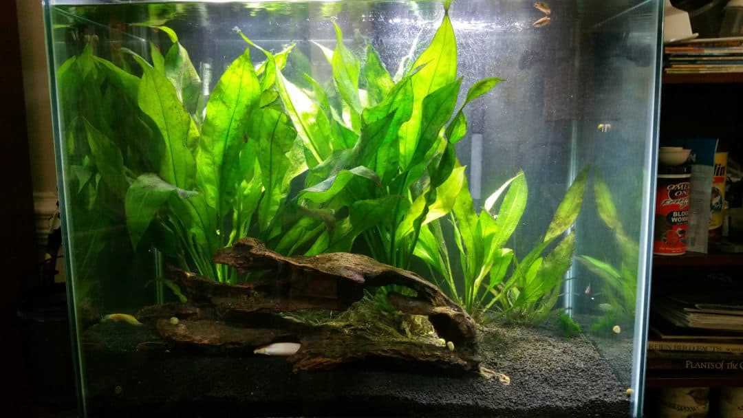 Growing amazon sword echinodorus bleheri aquariadise for Growing plants with fish