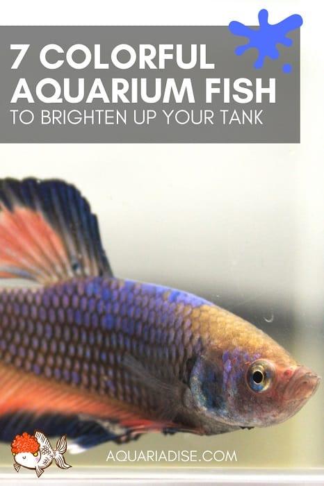 Colorful aquarium fish | 7 species to brighten your tank!