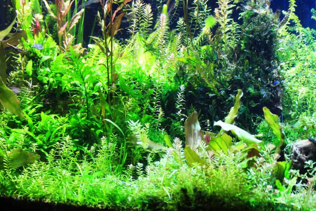 Background Aquarium Plants