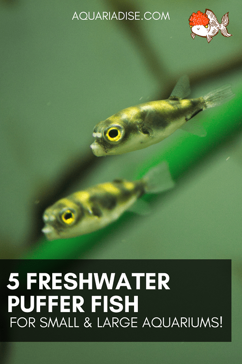 5 freshwater puffer fish | The helicopters of the aquarium world!
