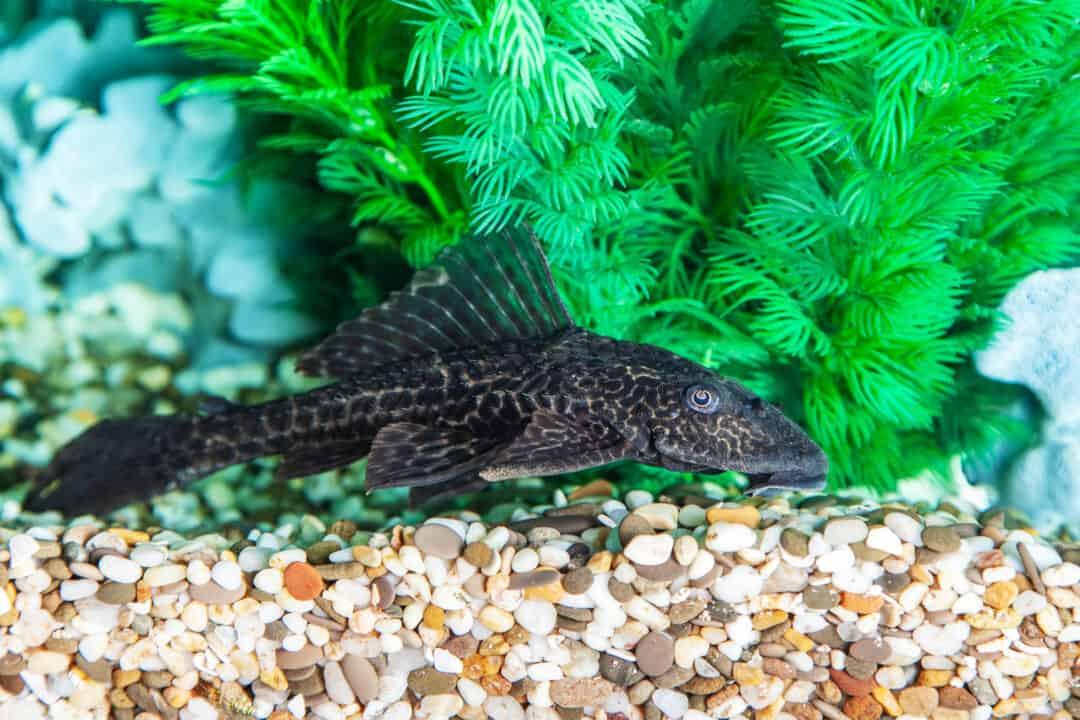 Aquarium Catfish