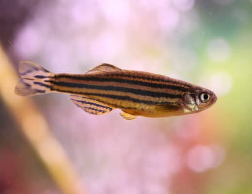 Zebra Danio Caresheet