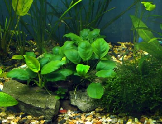 Plantprofiel: Anubias (Anubias barteri)