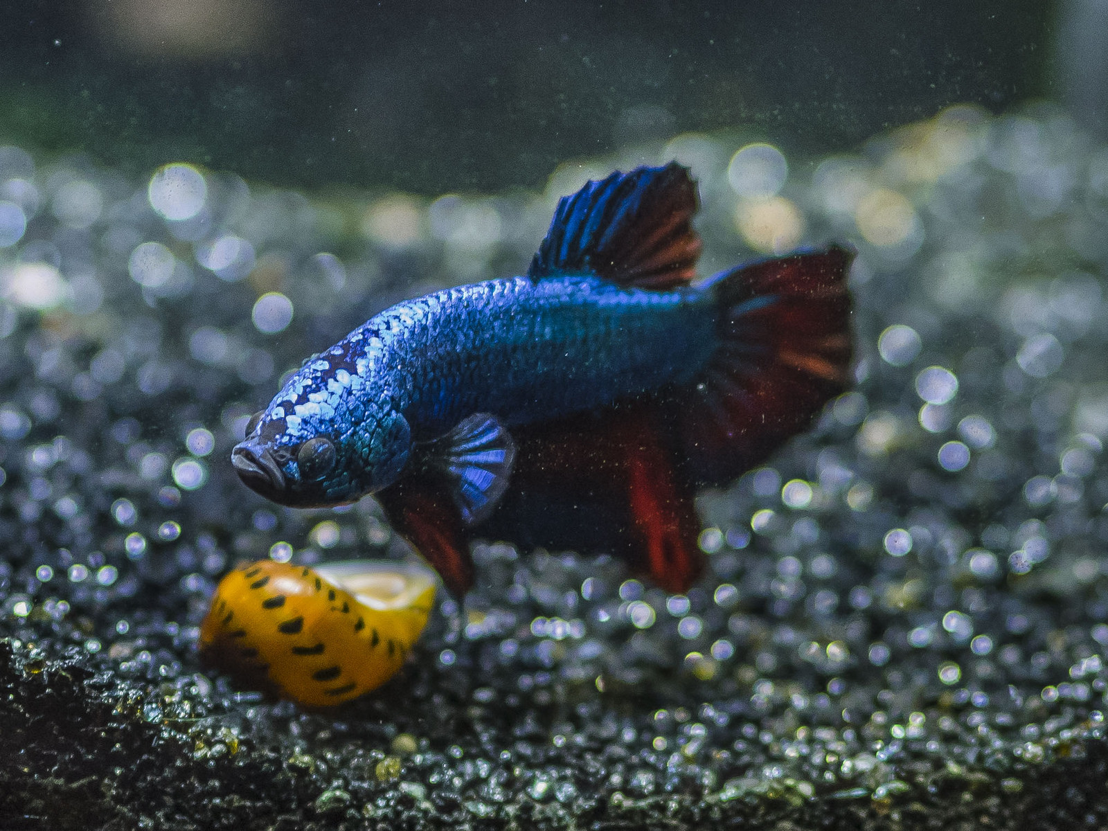 Freshwater aquarium puffer fish questions - Betta Tank Mates