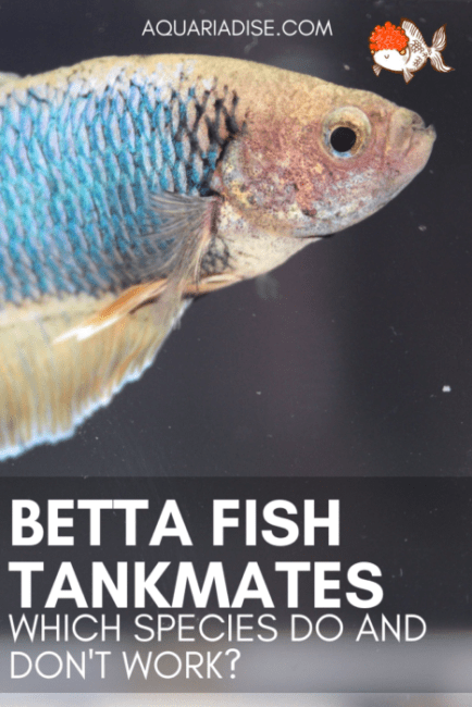6 #Bettafish tankmates | Fish that can live in your Betta #aquarium
