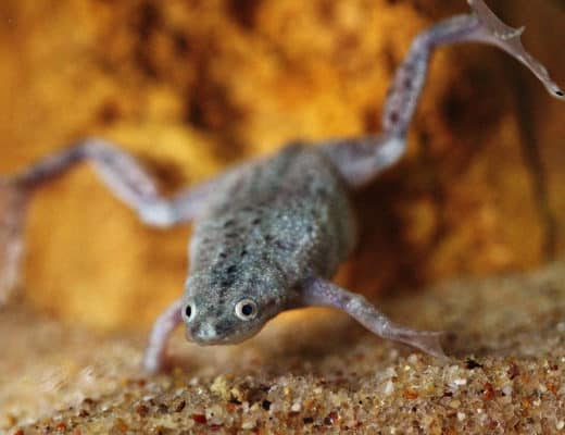 african dwarf frog care