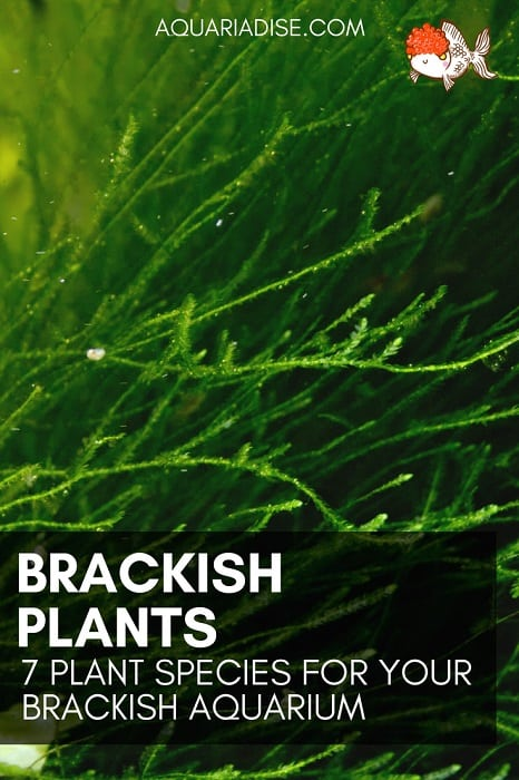 Plants for a brackish aquarium | 7 easy species
