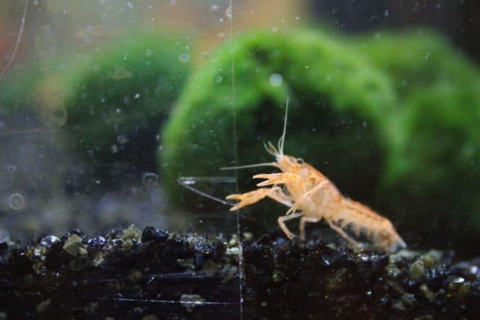 cpo crayfish