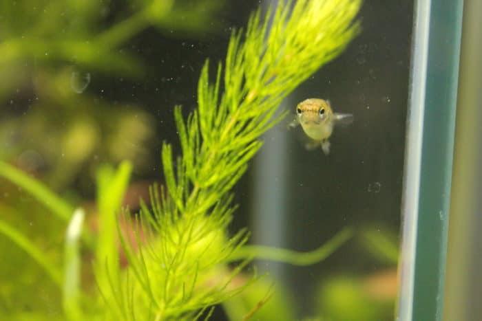 aquarium livebearer