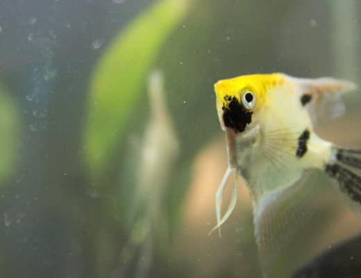 aquarium angelfish