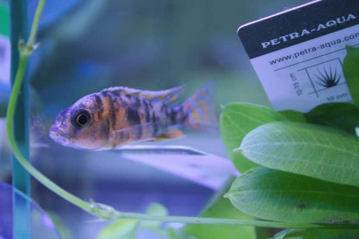 aquarium cichlid