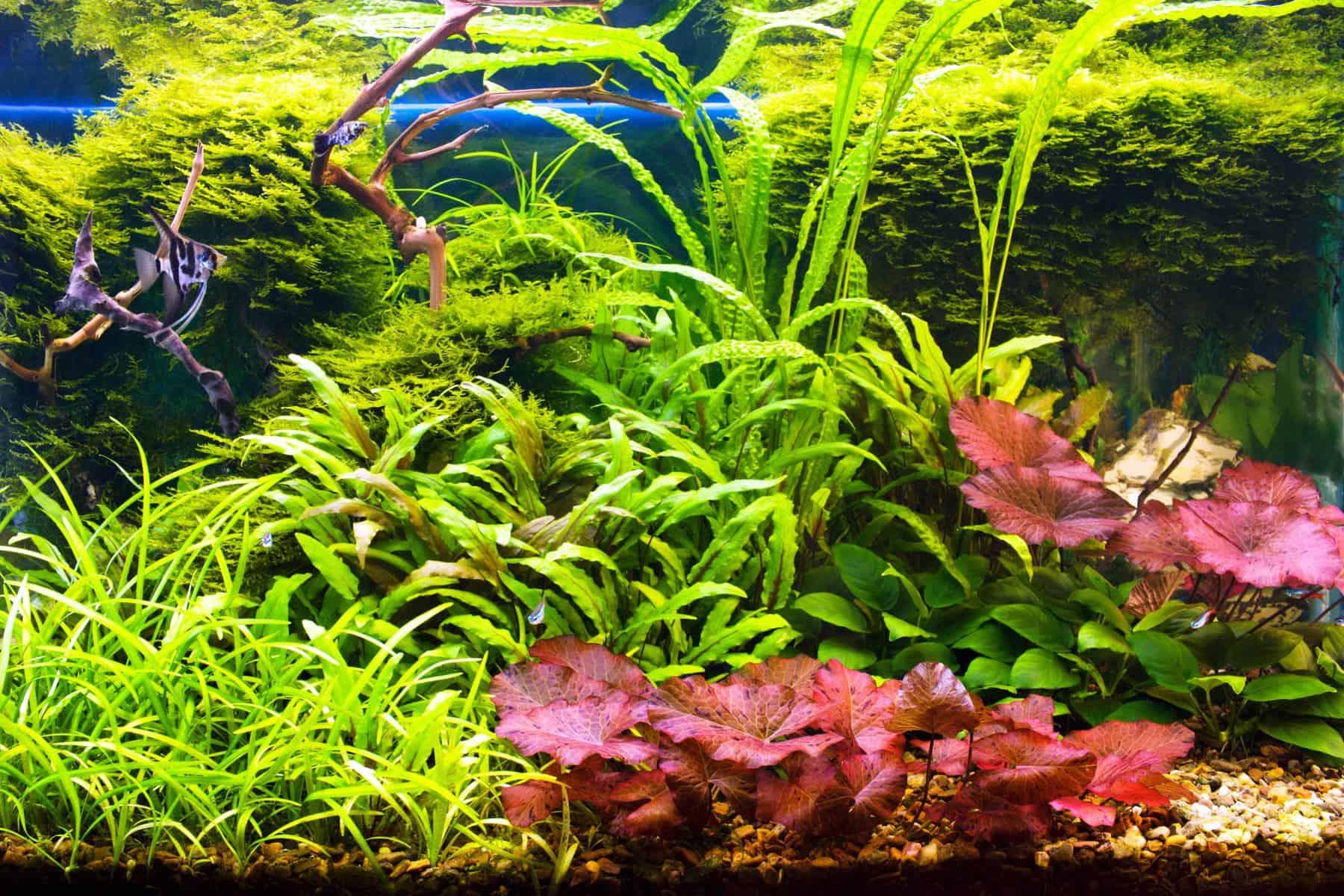 Red tiger lotus plant in aquarium