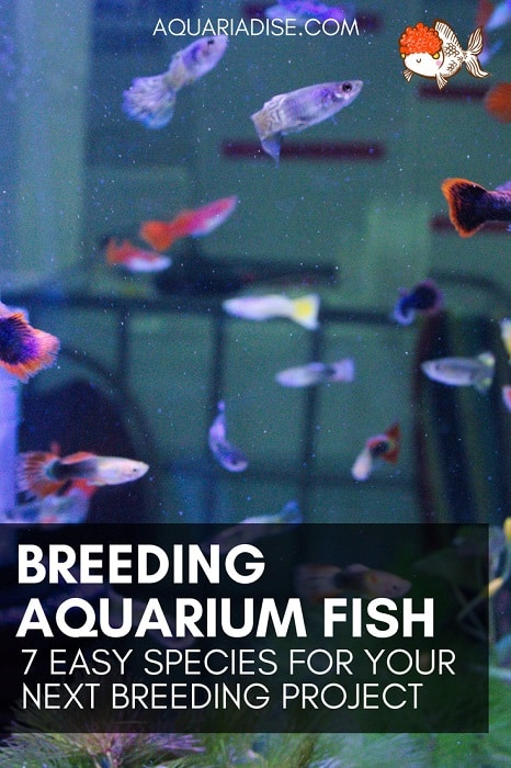 Easy fish to breed | 7 species for your next breeding project!