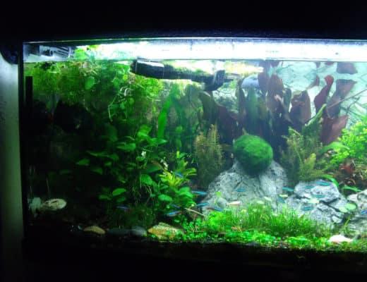 Freshwater Puffer Fish 5 True Freshwater Puffers