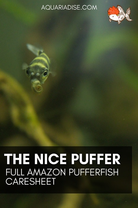 A nice puffer? | Full Amazon pufferfish caresheet